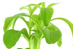 Hierba del substituto del azúcar del Stevia Imágenes de archivo libres de regalías