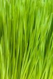 Hierba del trigo Foto de archivo