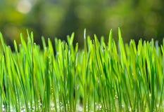 Hierba del trigo Foto de archivo libre de regalías