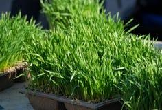 Hierba del trigo en el mercado del granjero Imágenes de archivo libres de regalías