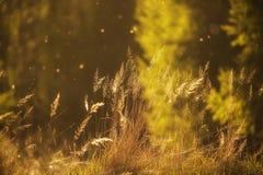 Hierba del verano en las luces de la puesta del sol Foto de archivo