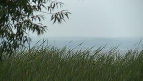 Hierba en día ventoso por el río en un día de verano almacen de video