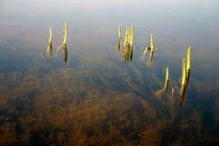Hierba en el agua fotografía de archivo libre de regalías