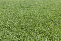Hierba en el prado Foto de archivo libre de regalías