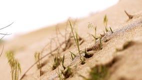 Hierba en el primer de la arena del desierto almacen de metraje de vídeo