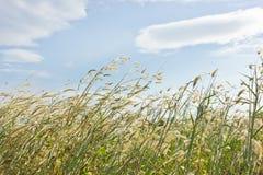 Hierba en el viento Fotografía de archivo libre de regalías