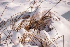 Hierba en la nieve bajo rayos del sol Foto de archivo libre de regalías