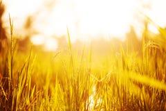Hierba en luces de la puesta del sol Fotografía de archivo libre de regalías