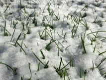 Hierba en nieve en un césped en el Sun Foto de archivo