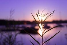 Hierba en salida del sol Fotos de archivo libres de regalías