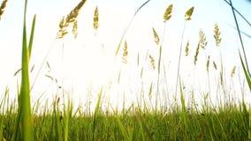 Hierba en un viento en la igualaci?n del prado metrajes