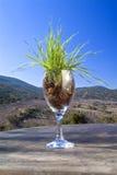 Hierba en vidrio de vino Fotos de archivo