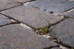 Hierba entre las piedras viejas Camino del ladrillo con la hierba y el musgo imagen de archivo libre de regalías