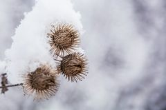 Hierba escarchada de la bardana en el bosque nevoso, tiempo frío por mañana soleada imagenes de archivo