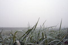 Hierba escarchada en madrugada Imagen de archivo