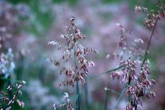 Hierba floreciente Imagen de archivo