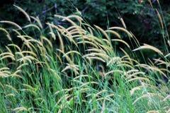 Hierba floreciente Foto de archivo libre de regalías