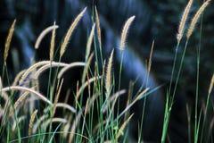 Hierba floreciente Fotografía de archivo