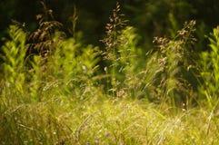 Hierba floreciente en un prado soleado Fotografía de archivo