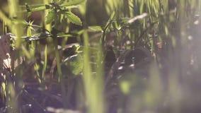 Hierba floreciente que dobla en el viento blur Bokeh almacen de metraje de vídeo