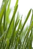 Hierba fresca con rocío Fotos de archivo