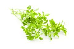 Hierba fresca de la albahaca/de la especia en el fondo blanco foto de archivo libre de regalías