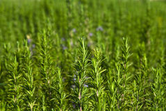 Hierba fresca de Rosemary Foto de archivo