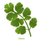 Hierba fresca del Cilantro stock de ilustración