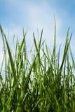 Hierba fresca del resorte por la mañana Imagen de archivo