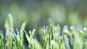 Hierba fresca en rocío de la mañana Fotos de archivo libres de regalías