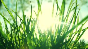 Hierba fresca en un campo verde soleado en la salida del sol, fondo de la naturaleza metrajes