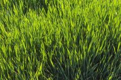 Hierba fresca joven de la primavera contra la luz foto de archivo