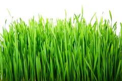 Hierba fresca verde Foto de archivo libre de regalías