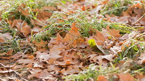 Hierba helada con las hojas del roble almacen de video