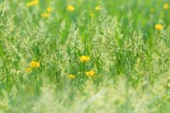 Hierba hermosa de la primavera y pequeñas flores amarillas Fotografía de archivo libre de regalías