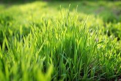Hierba joven de la primavera que crece del fertilizante Imágenes de archivo libres de regalías