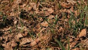 Hierba joven que crece en el bosque entre las hojas secas en primavera almacen de metraje de vídeo