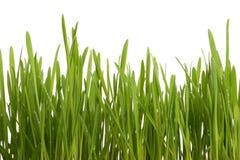 Hierba joven verde con gotas del rocío de la mañana Fotos de archivo libres de regalías