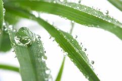 Hierba joven verde con gotas del rocío de la mañana Fotografía de archivo libre de regalías