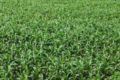 Hierba joven verde del campo de maíz Fotografía de archivo
