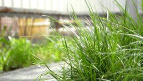 Hierba joven verde que se sacude en el viento de la primavera en la yarda cerca de la trayectoria metrajes