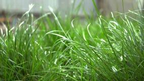 Hierba joven verde que se sacude en el viento en la yarda, tiene pétalos blancos de flores almacen de metraje de vídeo