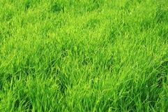 Hierba jugosa verde como fondo Fotografía de archivo libre de regalías