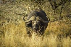 Hierba larga del bisonte africano en Kenia Imagen de archivo
