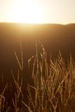 Hierba larga en la puesta del sol Imagen de archivo libre de regalías