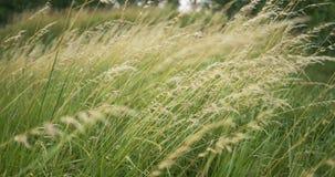 Hierba larga hermosa que se mueve en viento Fondo de la hierba de prado metrajes