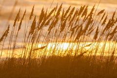 Hierba larga que crece en dunas de arena de la playa en la puesta del sol o la salida del sol Foto de archivo