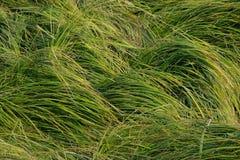 Hierba larga verde Foto de archivo libre de regalías
