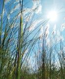Hierba larga y Sun con la brisa foto de archivo libre de regalías