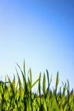 Hierba macra y cielo azul Fotos de archivo